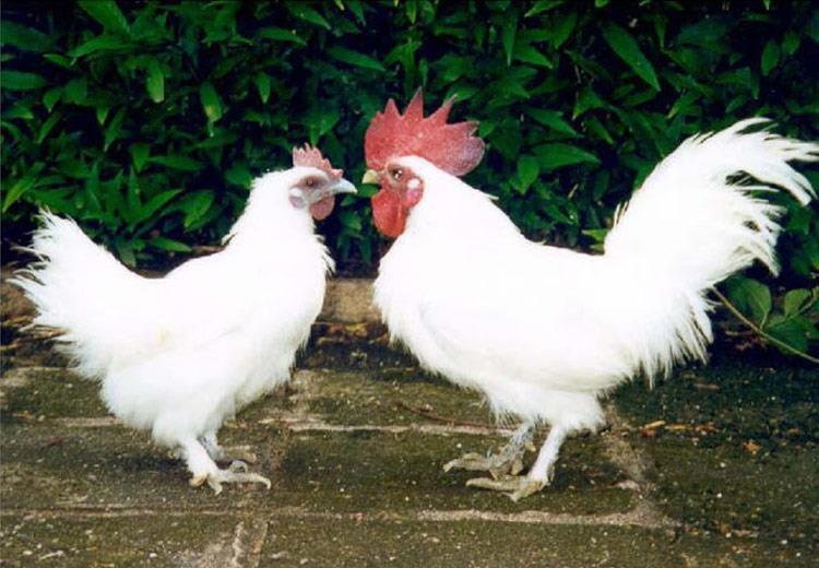 Giá gà ác giống - ô cốt kê. Mua bán gà ác giống ở Hà Nội, TPHCM - monmientrung.com