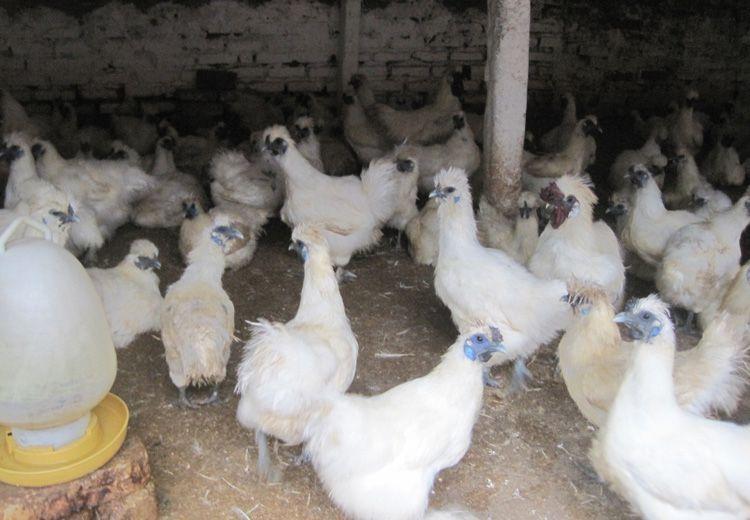 bán giống gà ác tại hà nội | Món Miền Trung