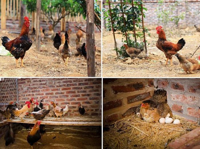 Kỹ thuật nuôi gà đẻ trứng thả vườn. Kích thích gà thả vườn đẻ siêu trứng - monmientrung.com